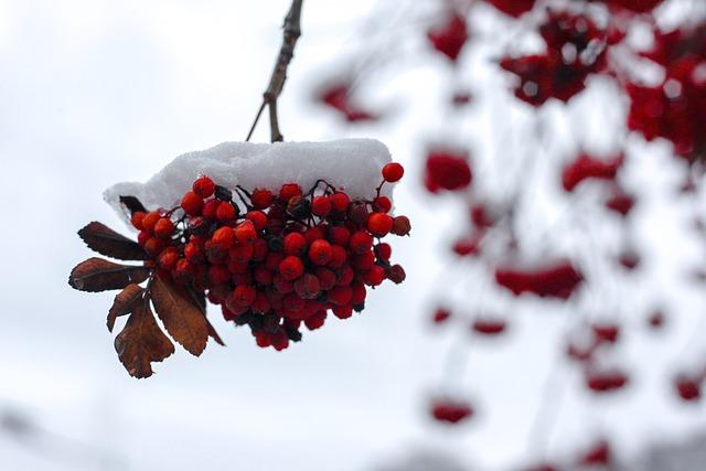 雪が積もった七竈