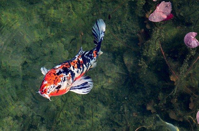 窓の魚 イメージ 鯉
